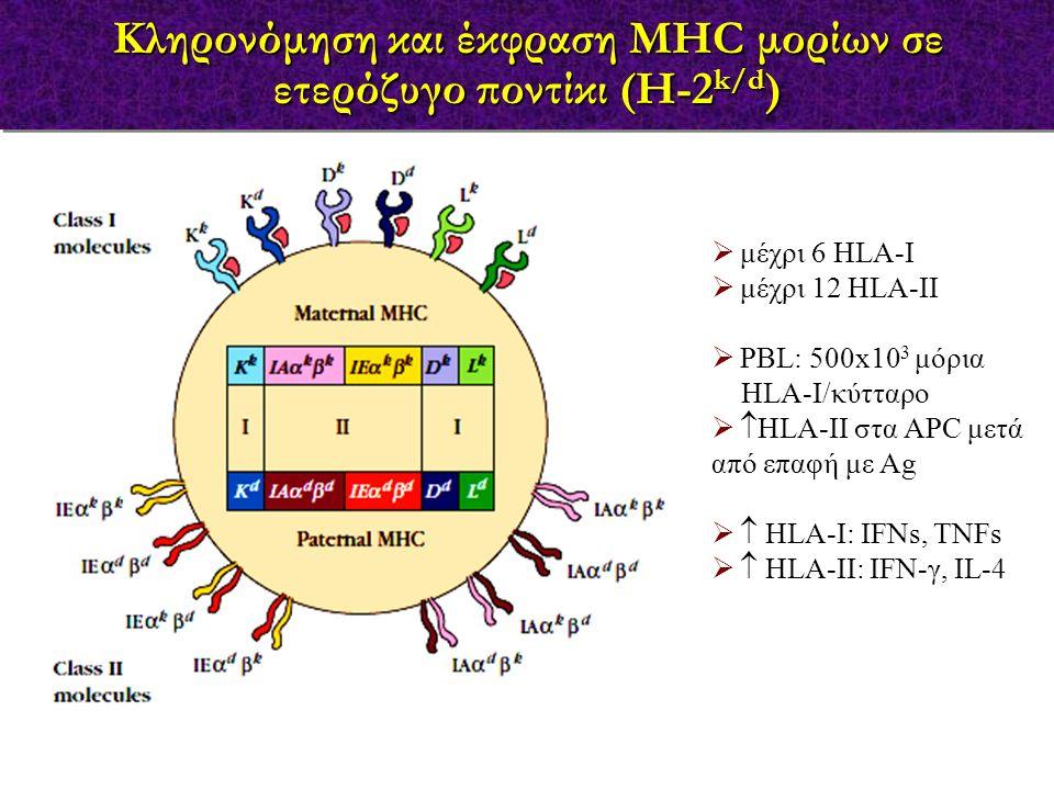  μέχρι 6 HLA-I  μέχρι 12 HLA-II  PBL: 500x10 3 μόρια HLA-Ι/κύτταρο   HLA-II στα APC μετά από επαφή με Ag   HLA-I: IFNs, TNFs   HLA-II: IFN-γ,
