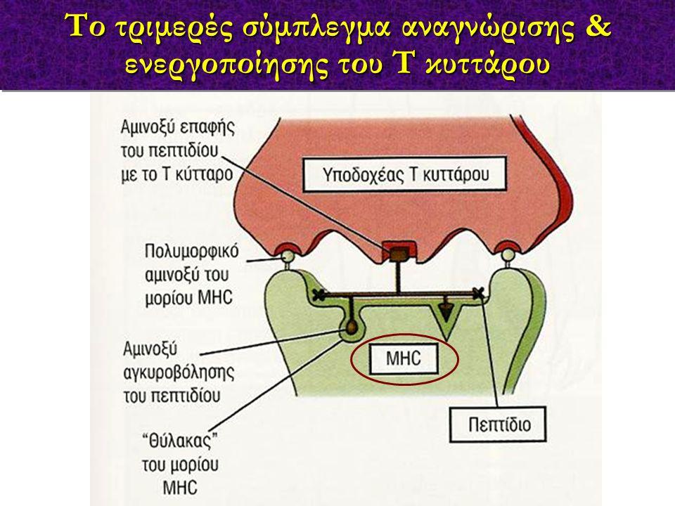 Η επεξεργασία του αντιγόνου απαραίτητη για την ενεργοποίηση των Τ λεμφοκυττάρων μονιμοποιημένα APC δεν ενεργοποιούν Τ κύτταρα μονιμοποιημένα APC μετά την επεξεργασία του αντιγόνου ενεργοποιούν Τ κύτταρα μονιμοποιημένα APC «φορτωμένα» με αντιγονικά πεπτίδια ενεργοποιούν Τ κύτταρα
