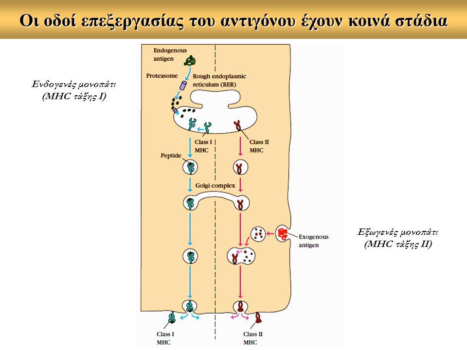 Οι οδοί επεξεργασίας του αντιγόνου έχουν κοινά στάδια Ενδογενές μονοπάτι (MHC τάξης Ι) Εξωγενές μονοπάτι (MHC τάξης ΙΙ)