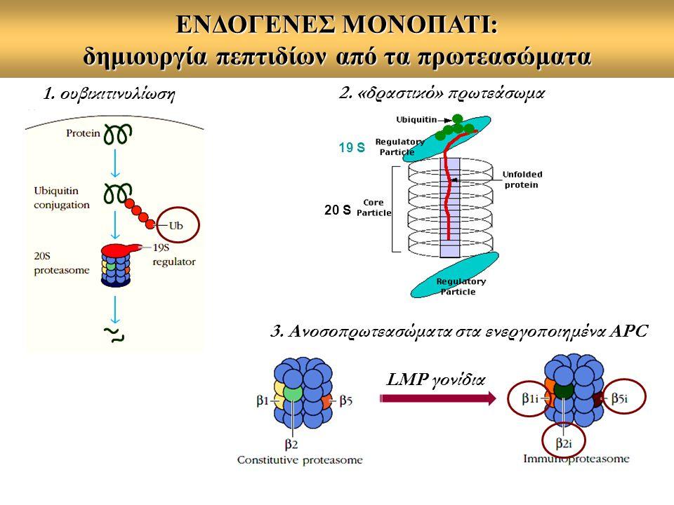 ΕΝΔΟΓΕΝΕΣ ΜΟΝΟΠΑΤΙ: δημιουργία πεπτιδίων από τα πρωτεασώματα 19 S 20 S 2. «δραστικό» πρωτεάσωμα 1. ουβικιτινυλίωση LMP γονίδια 3. Ανοσοπρωτεασώματα στ