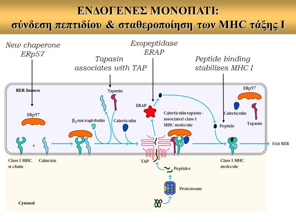 ΕΝΔΟΓΕΝΕΣ ΜΟΝΟΠΑΤΙ: σύνδεση πεπτιδίου & σταθεροποίηση των MHC τάξης Ι Exopeptidase ERAP New chaperone ERp57 Tapasin associates with TAP Peptide bindin