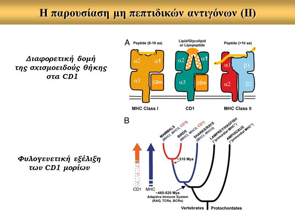Η παρουσίαση μη πεπτιδικών αντιγόνων (ΙΙ) Διαφορετική δομή της σχισμοειδούς θήκης στα CD1 Φυλογενετική εξέλιξη των CD1 μορίων