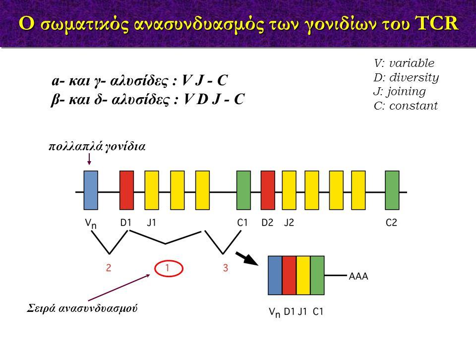 a- και γ- αλυσίδες : V J - C β- και δ- αλυσίδες : V D J - C V: variable D: diversity J: joining C: constant πολλαπλά γονίδια Σειρά ανασυνδυασμού O σωμ