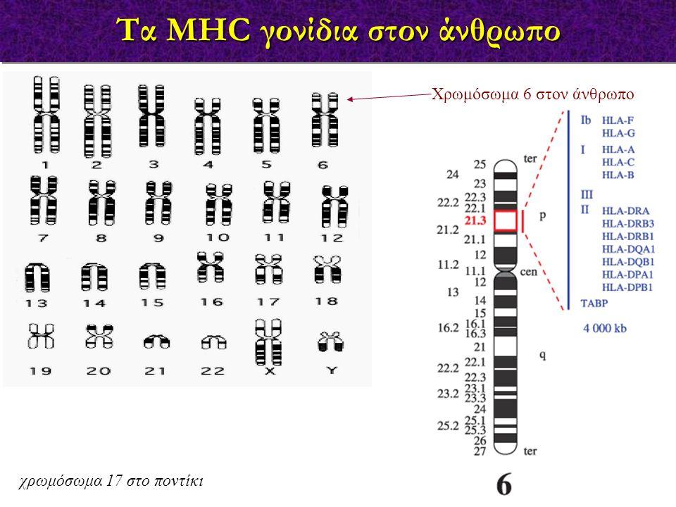 Αριθμός γνωστών αλληλομόρφων (2003)  HLA = ιδιαίτερα πολυμορφικά  δεν αλλάζουν με το χρόνο = TCR, Abs  διαφορές κατά 5-10 %  διαφορετικά MHC-Ag 309 563 167 107203 439 2556 2006 Πολυμορφισμός των HLA αντιγόνων