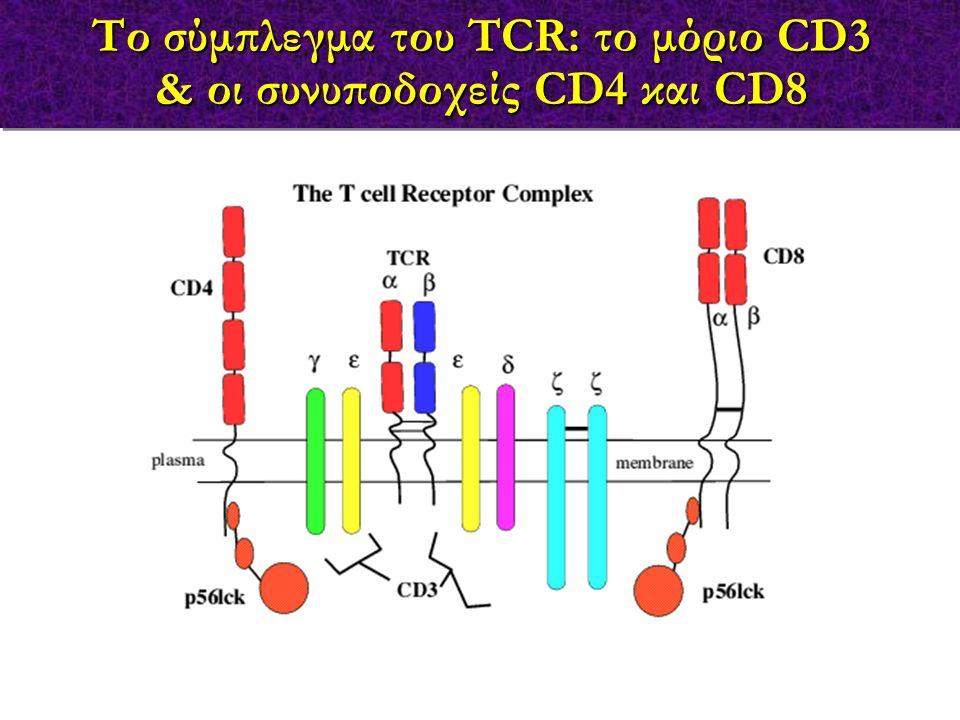 Το σύμπλεγμα του TCR: το μόριο CD3 & οι συνυποδοχείς CD4 και CD8 Το σύμπλεγμα του TCR: το μόριο CD3 & οι συνυποδοχείς CD4 και CD8