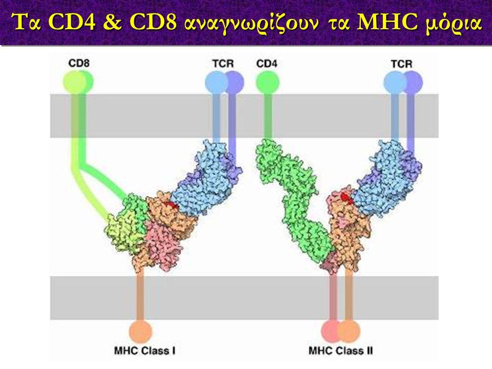 Τα CD4 & CD8 αναγνωρίζουν τα MHC μόρια