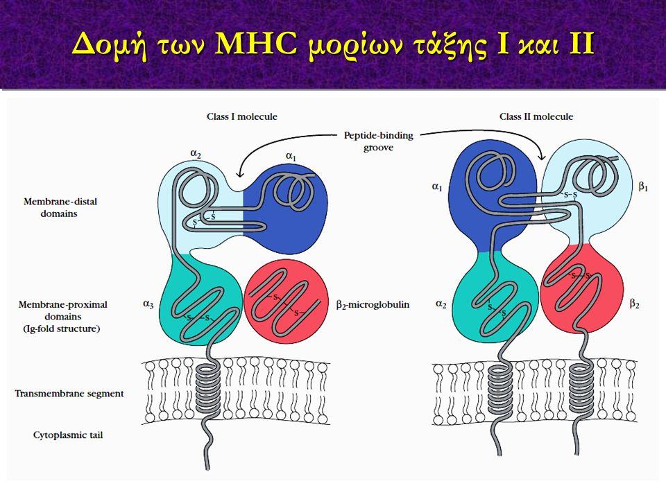 MHC τάξης Ι MHC τάξης ΙΙ Δομή της σχισμοειδούς θήκης MHC μορίων τάξης Ι και ΙΙ