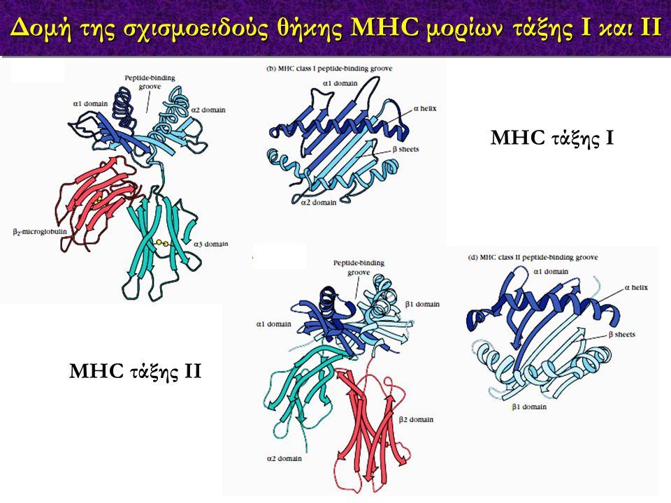 Δέσμευση των πεπτιδίων στα MHC μόρια τάξης Ι & ΙΙ MHC τάξης Ι MHC τάξης ΙΙ