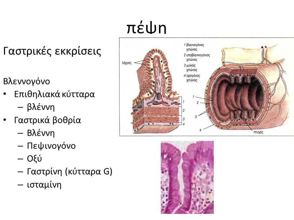 πέψη Γαστρικές εκκρίσεις Βλεννογόνο Επιθηλιακά κύτταρα – βλέννη Γαστρικά βοθρία – Βλέννη – Πεψινογόνο – Οξύ – Γαστρίνη (κύτταρα G) – ισταμίνη