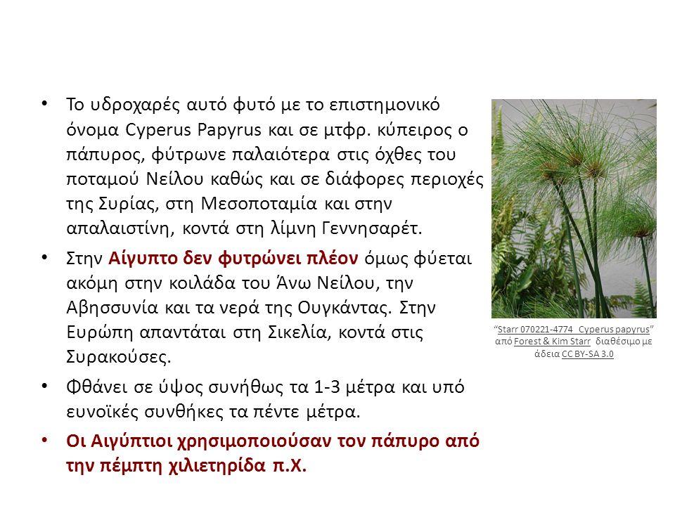 Το υδροχαρές αυτό φυτό με το επιστημονικό όνομα Cyperus Papyrus και σε μτφρ.