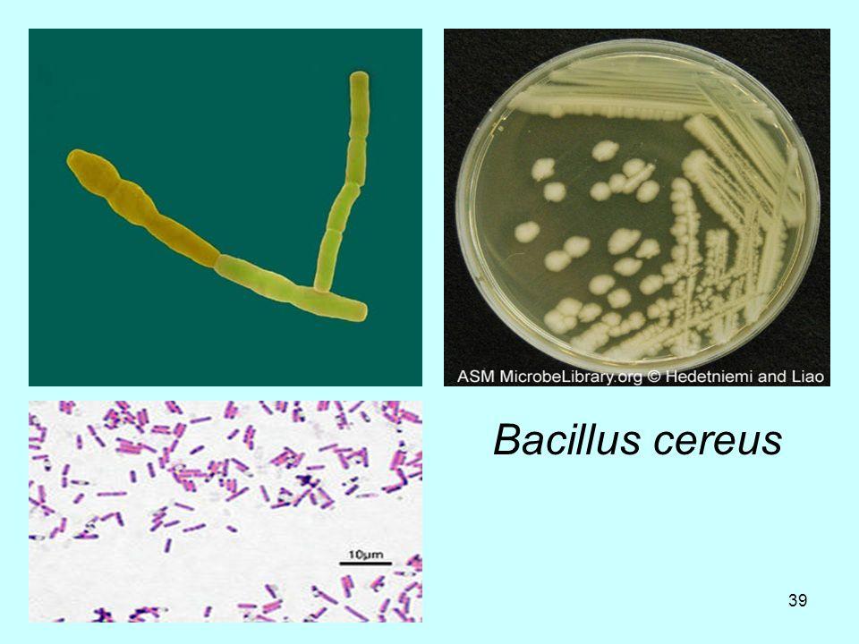 39 Bacillus cereus