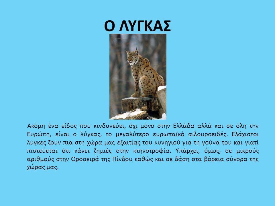 Ο ΛΥΓΚΑΣ Ακόμη ένα είδος που κινδυνεύει, όχι μόνο στην Ελλάδα αλλά και σε όλη την Ευρώπη, είναι ο λύγκας, το μεγαλύτερο ευρωπαϊκό αιλουροειδές. Ελάχισ