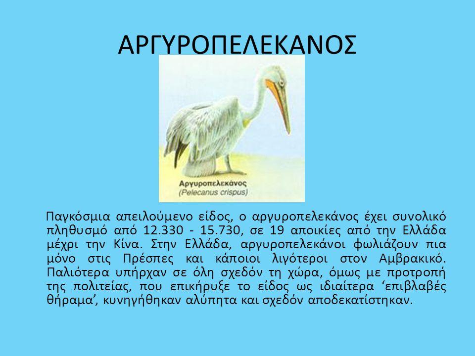 ΑΡΓΥΡΟΠΕΛΕΚΑΝΟΣ Παγκόσμια απειλούμενο είδος, ο αργυροπελεκάνος έχει συνολικό πληθυσμό από 12.330 - 15.730, σε 19 αποικίες από την Ελλάδα μέχρι την Κίν