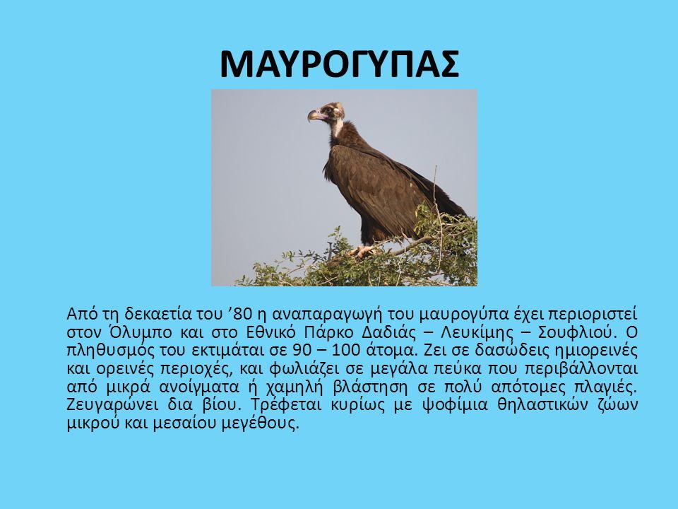 ΜΑΥΡΟΓΥΠΑΣ Από τη δεκαετία του '80 η αναπαραγωγή του μαυρογύπα έχει περιοριστεί στον Όλυμπο και στο Εθνικό Πάρκο Δαδιάς – Λευκίμης – Σουφλιού. Ο πληθυ