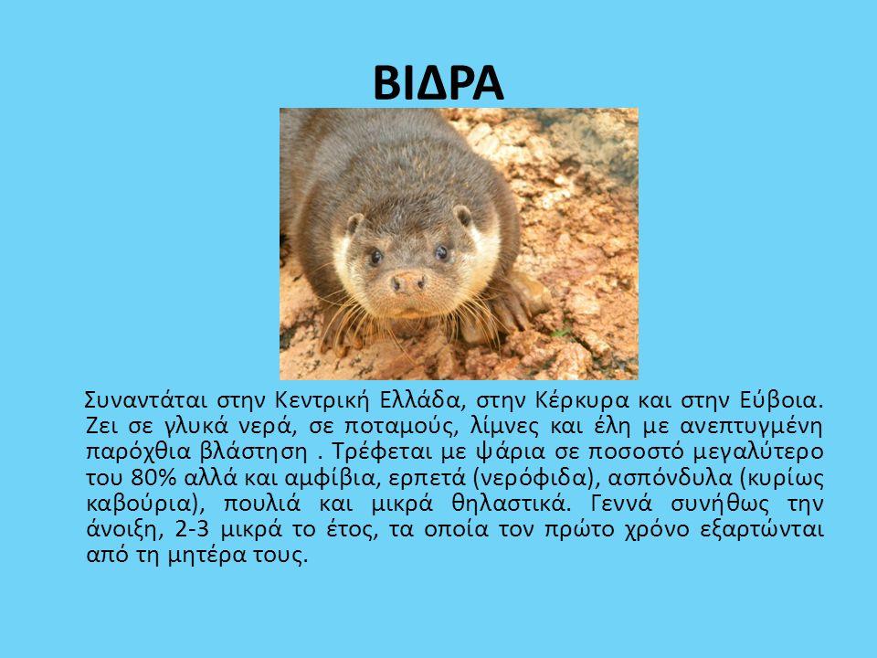 ΒΙΔΡΑ Συναντάται στην Κεντρική Ελλάδα, στην Κέρκυρα και στην Εύβοια. Ζει σε γλυκά νερά, σε ποταμούς, λίμνες και έλη με ανεπτυγμένη παρόχθια βλάστηση.
