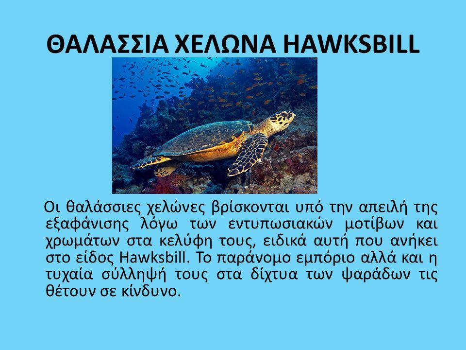ΘΑΛΑΣΣΙΑ ΧΕΛΩΝΑ HAWKSBILL Οι θαλάσσιες χελώνες βρίσκονται υπό την απειλή της εξαφάνισης λόγω των εντυπωσιακών μοτίβων και χρωμάτων στα κελύφη τους, ει
