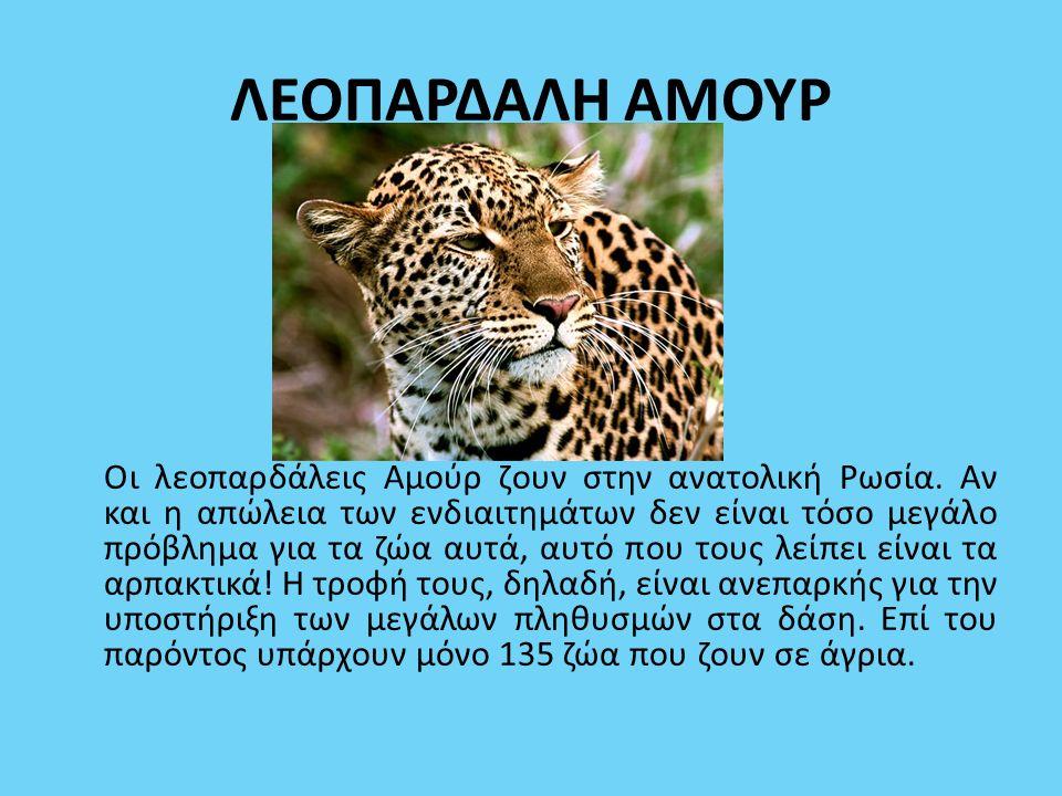 ΛΕΟΠΑΡΔΑΛΗ ΑΜΟΥΡ Οι λεοπαρδάλεις Αμούρ ζουν στην ανατολική Ρωσία. Αν και η απώλεια των ενδιαιτημάτων δεν είναι τόσο μεγάλο πρόβλημα για τα ζώα αυτά, α