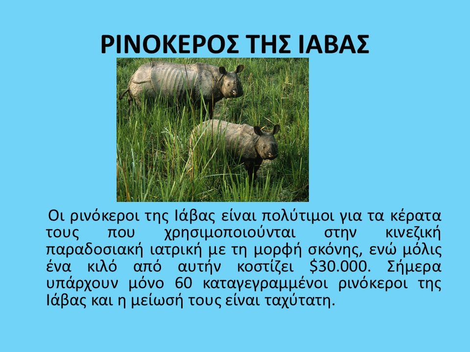 ΡΙΝΟΚΕΡΟΣ ΤΗΣ ΙΑΒΑΣ Οι ρινόκεροι της Ιάβας είναι πολύτιμοι για τα κέρατα τους που χρησιμοποιούνται στην κινεζική παραδοσιακή ιατρική με τη μορφή σκόνη