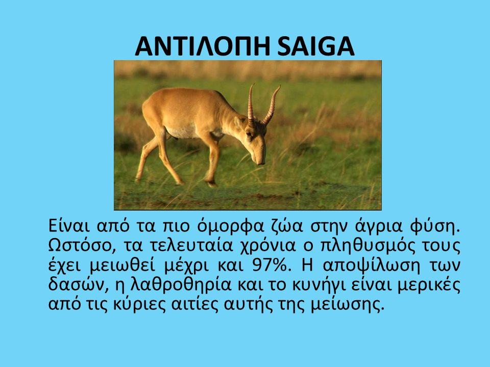 ΑΝΤΙΛΟΠΗ SAIGA Είναι από τα πιο όμορφα ζώα στην άγρια φύση. Ωστόσο, τα τελευταία χρόνια ο πληθυσμός τους έχει μειωθεί μέχρι και 97%. Η αποψίλωση των δ