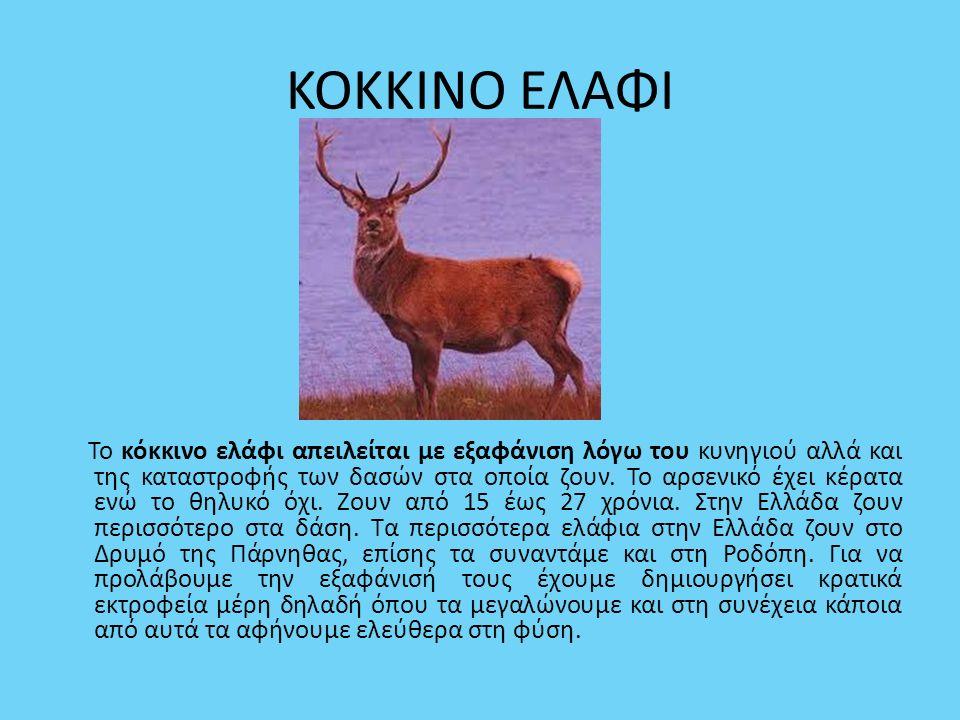 ΚΟΚΚΙΝΟ ΕΛΑΦΙ Το κόκκινο ελάφι απειλείται με εξαφάνιση λόγω του κυνηγιού αλλά και της καταστροφής των δασών στα οποία ζουν. Το αρσενικό έχει κέρατα εν