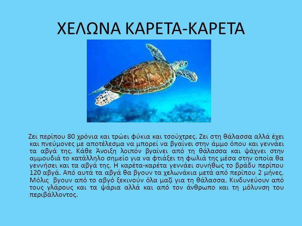 ΧΕΛΩΝΑ ΚΑΡΕΤΑ-ΚΑΡΕΤΑ Ζει περίπου 80 χρόνια και τρώει φύκια και τσούχτρες. Ζει στη θάλασσα αλλά έχει και πνεύμονες με αποτέλεσμα να μπορεί να βγαίνει σ