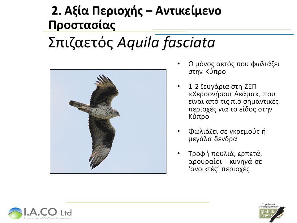 Σπιζαετός Aquila fasciata Ο μόνος αετός που φωλιάζει στην Κύπρο 1-2 ζευγάρια στη ΖΕΠ «Χερσονήσου Ακάμα», που είναι από τις πιο σημαντικές περιοχές για το είδος στην Κύπρο Φωλιάζει σε γκρεμούς ή μεγάλα δένδρα Τροφή πουλιά, ερπετά, αρουραίοι - κυνηγά σε 'ανοικτές' περιοχές 2.