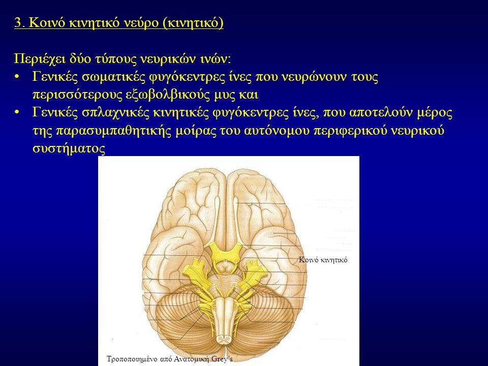 3. Κοινό κινητικό νεύρο (κινητικό) Περιέχει δύο τύπους νευρικών ινών: Γενικές σωματικές φυγόκεντρες ίνες που νευρώνουν τους περισσότερους εξωβολβικούς