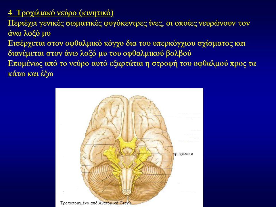 4. Τροχιλιακό νεύρο (κινητικό) Περιέχει γενικές σωματικές φυγόκεντρες ίνες, οι οποίες νευρώνουν τον άνω λοξό μυ Εισέρχεται στον οφθαλμικό κόγχο δια το