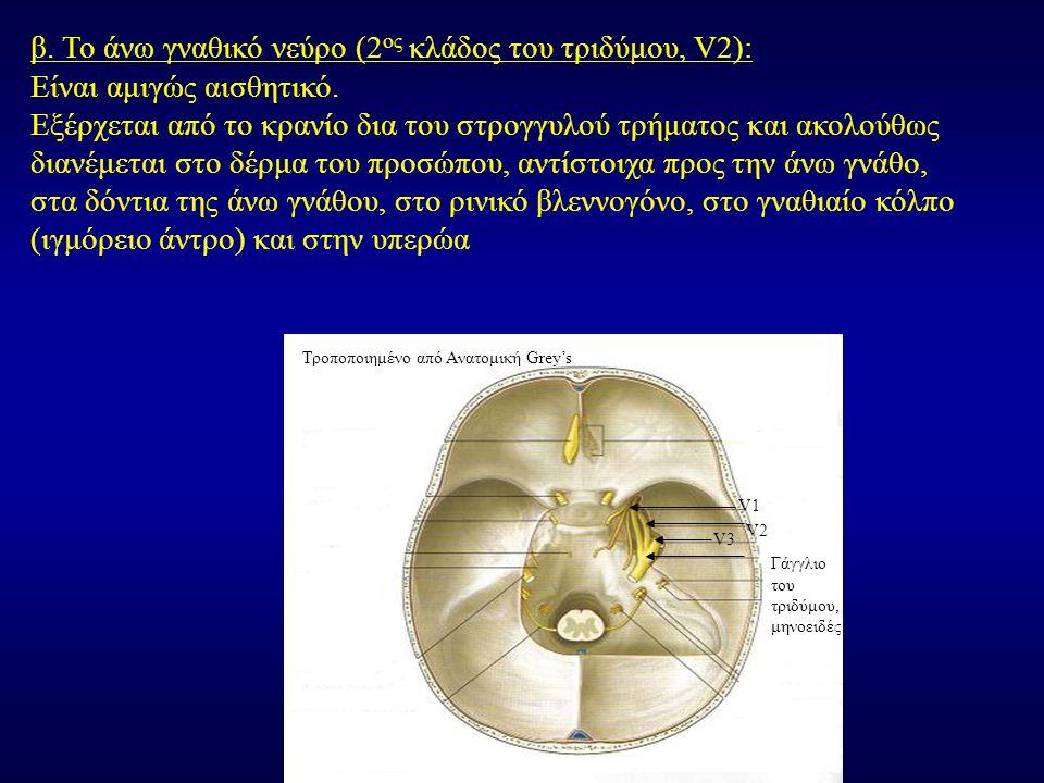 β. Το άνω γναθικό νεύρο (2 ος κλάδος του τριδύμου, V2): Είναι αμιγώς αισθητικό. Εξέρχεται από το κρανίο δια του στρογγυλού τρήματος και ακολούθως διαν
