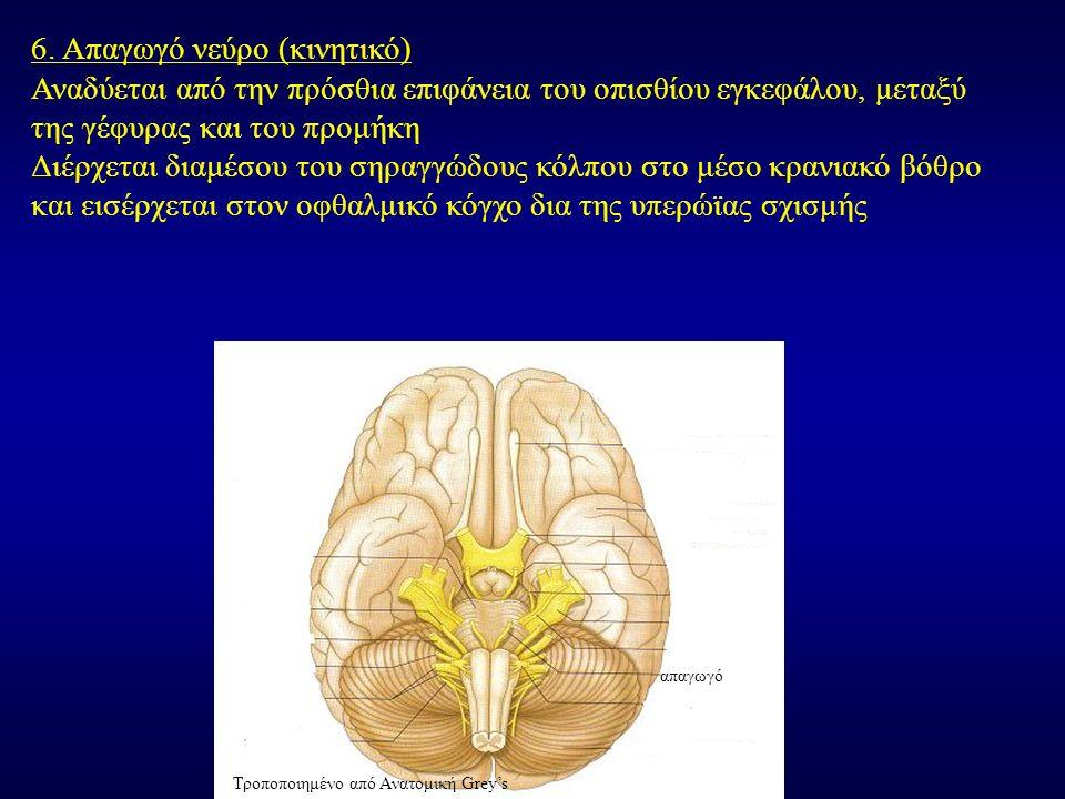 6. Απαγωγό νεύρο (κινητικό) Αναδύεται από την πρόσθια επιφάνεια του οπισθίου εγκεφάλου, μεταξύ της γέφυρας και του προμήκη Διέρχεται διαμέσου του σηρα