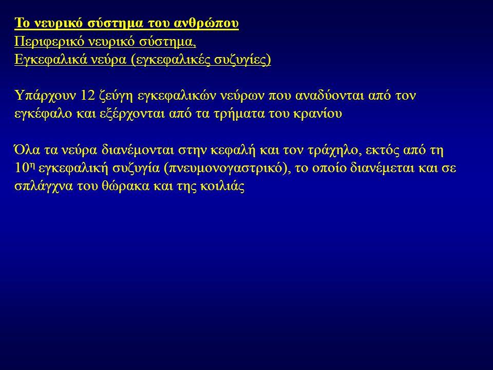 Τα εγκεφαλικά νεύρα είναι τα παρακάτω: 1.Οσφρητικό (αισθητικό) 2.Οπτικό (αισθητικό) 3.Κοινό κινητικό (κινητικό) 4.Τροχιλιακό (κινητικό) 5.Τρίδυμο (μικτό) 6.Απαγωγό (κινητικό) 7.Προσωπικό (μικτό) 8.Αιθουσοκοχλιακό (αισθητικό) 9.Γλωσσοφαρυγγικό (μικτό) 10.Πνευμονογαστρικό (μικτό) 11.Παραπληρωματικό (κινητικό) 12.Υπογλώσσιο (κινητικό)