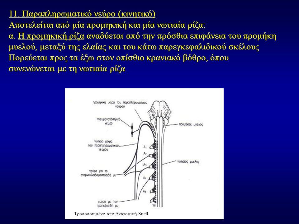 11. Παραπληρωματικό νεύρο (κινητικό) Αποτελείται από μία προμηκική και μία νωτιαία ρίζα: α. Η προμηκική ρίζα αναδύεται από την πρόσθια επιφάνεια του π