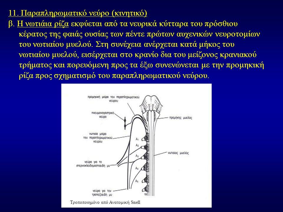 11. Παραπληρωματικό νεύρο (κινητικό) β. Η νωτιάια ρίζα εκφύεται από τα νευρικά κύτταρα του πρόσθιου κέρατος της φαιάς ουσίας των πέντε πρώτων αυχενικώ