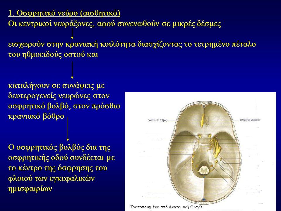 1. Οσφρητικό νεύρο (αισθητικό) Οι κεντρικοί νευράξονες, αφού συνενωθούν σε μικρές δέσμες εισχωρούν στην κρανιακή κοιλότητα διασχίζοντας το τετρημένο π