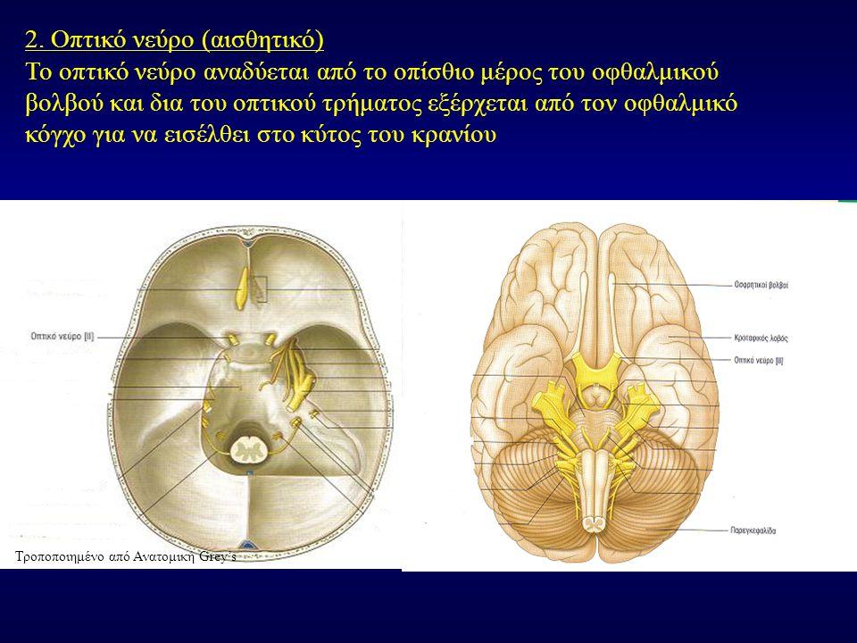 2. Οπτικό νεύρο (αισθητικό) Το οπτικό νεύρο αναδύεται από το οπίσθιο μέρος του οφθαλμικού βολβού και δια του οπτικού τρήματος εξέρχεται από τον οφθαλμ