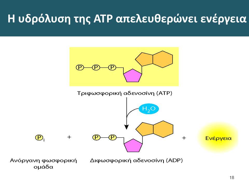 Η υδρόλυση της ATP απελευθερώνει ενέργεια 18