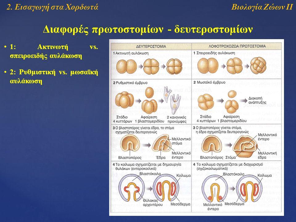 Βιολογία Ζώων ΙΙ2. Εισαγωγή στα Χορδωτά Διαφορές πρωτοστομίων - δευτεροστομίων 1: Ακτινωτή vs.