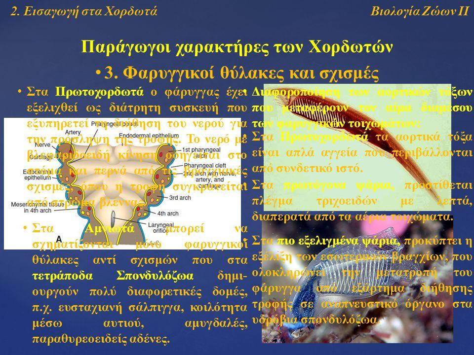 Βιολογία Ζώων ΙΙ2. Εισαγωγή στα Χορδωτά Παράγωγοι χαρακτήρες των Χορδωτών 3.