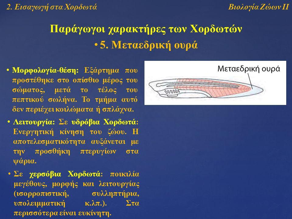 Βιολογία Ζώων ΙΙ2. Εισαγωγή στα Χορδωτά Παράγωγοι χαρακτήρες των Χορδωτών 5.