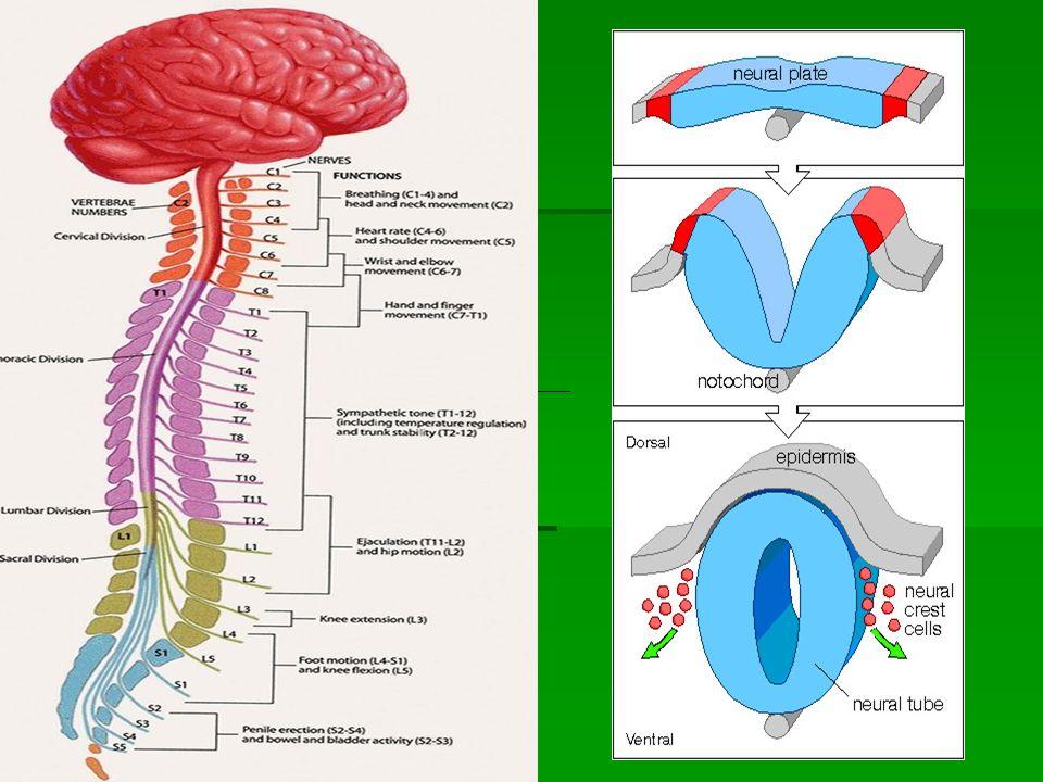 Εμβρυολογική εξέλιξη