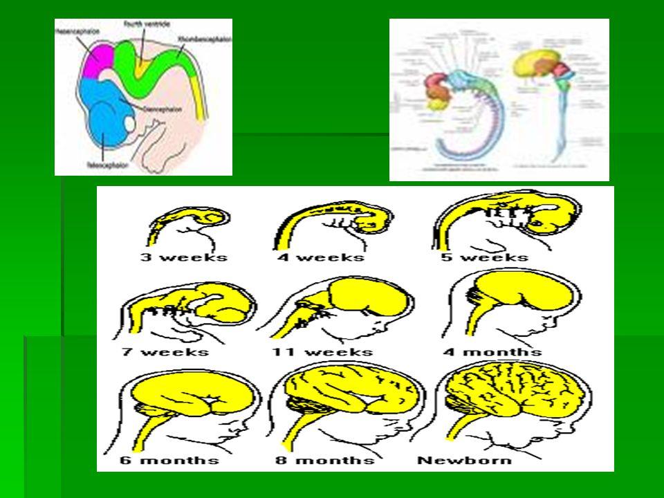Νευρώνας=Νευρικό κύτταρο+αποφυάδες (δενδρίτες και νευρίτης η αξονας)