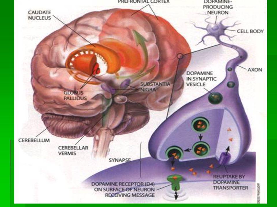 Λευκή ουσία:Προβλητικές ινες Εσω κάψα Ακτινωτός στέφανος