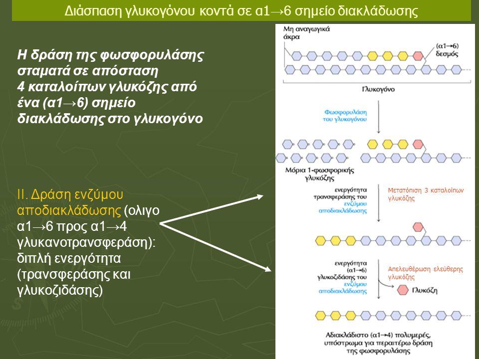 II. Δράση ενζύμου αποδιακλάδωσης (ολιγο α1→6 προς α1→4 γλυκανοτρανσφεράση): διπλή ενεργότητα (τρανσφεράσης και γλυκοζιδάσης) Η δράση της φωσφορυλάσης