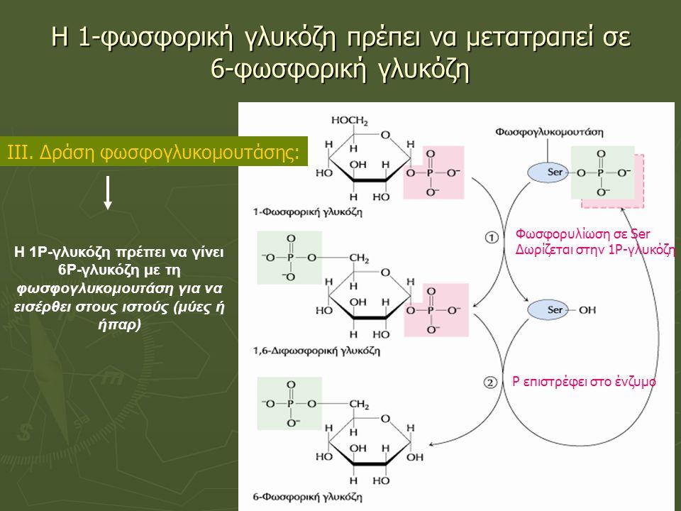 Η 1-φωσφορική γλυκόζη πρέπει να μετατραπεί σε 6-φωσφορική γλυκόζη Φωσφορυλίωση σε Ser Δωρίζεται στην 1Ρ-γλυκόζη Ρ επιστρέφει στο ένζυμο ΙΙΙ.