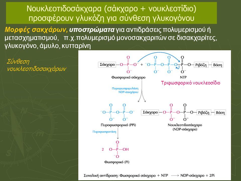 Μορφές σακχάρων, υποστρώματα για αντιδράσεις πολυμερισμού ή μετασχηματισμού, π.χ.πολυμερισμό μονοσακχαριτών σε δισακχαρίτες, γλυκογόνο, άμυλο, κυτταρίνη Νουκλεοτιδοσάκχαρα (σάκχαρο + νουκλεοτίδιο) προσφέρουν γλυκόζη για σύνθεση γλυκογόνου Τριφωσφορικό νουκλεοσίδιο Σύνθεση νουκλεοτιδοσακχάρων