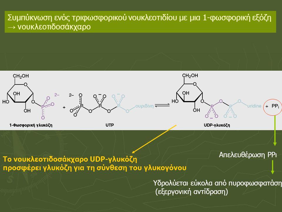 Συμπύκνωση ενός τριφωσφορικού νουκλεοτιδίου με μια 1-φωσφορική εξόζη → νουκλεοτιδοσάκχαρο Απελευθέρωση ΡΡι Υδρολύεται εύκολα από πυροφωσφατάση (εξεργονική αντίδραση) To νουκλεοτιδοσάκχαρο UDP-γλυκόζη προσφέρει γλυκόζη για τη σύνθεση του γλυκογόνου