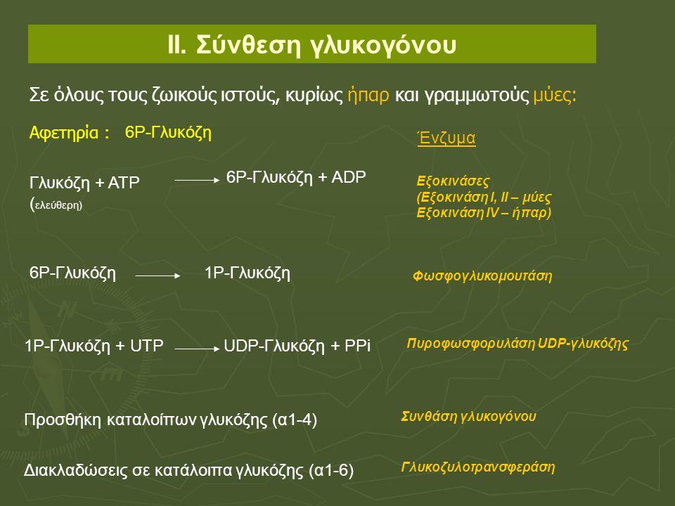 ΙΙ. Σύνθεση γλυκογόνου Γλυκόζη + ΑΤΡ ( ελεύθερη) 6Ρ-Γλυκόζη + ΑDΡ Εξοκινάσες (Eξοκινάση Ι, ΙΙ – μύες Εξοκινάση ΙV – ήπαρ) 6Ρ-Γλυκόζη1Ρ-Γλυκόζη Φωσφογλ
