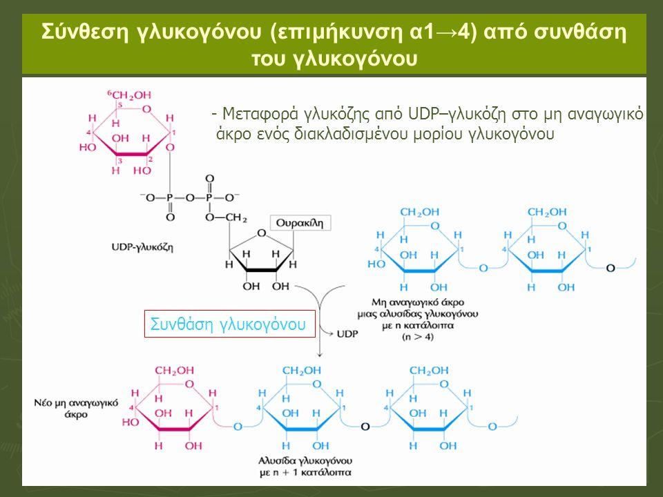 Σύνθεση γλυκογόνου (επιμήκυνση α1→4) από συνθάση του γλυκογόνου - Μεταφορά γλυκόζης από UDP–γλυκόζη στο μη αναγωγικό άκρο ενός διακλαδισμένου μορίου γλυκογόνου Συνθάση γλυκογόνου