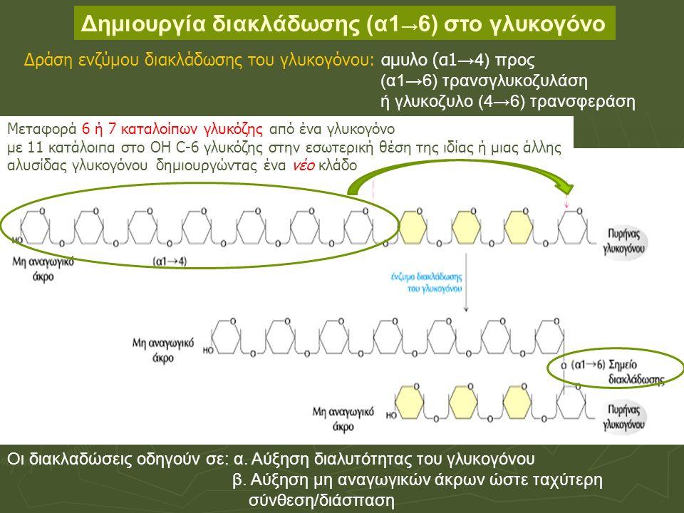 Δημιουργία διακλάδωσης (α1 → 6) στο γλυκογόνο Οι διακλαδώσεις οδηγούν σε: α.