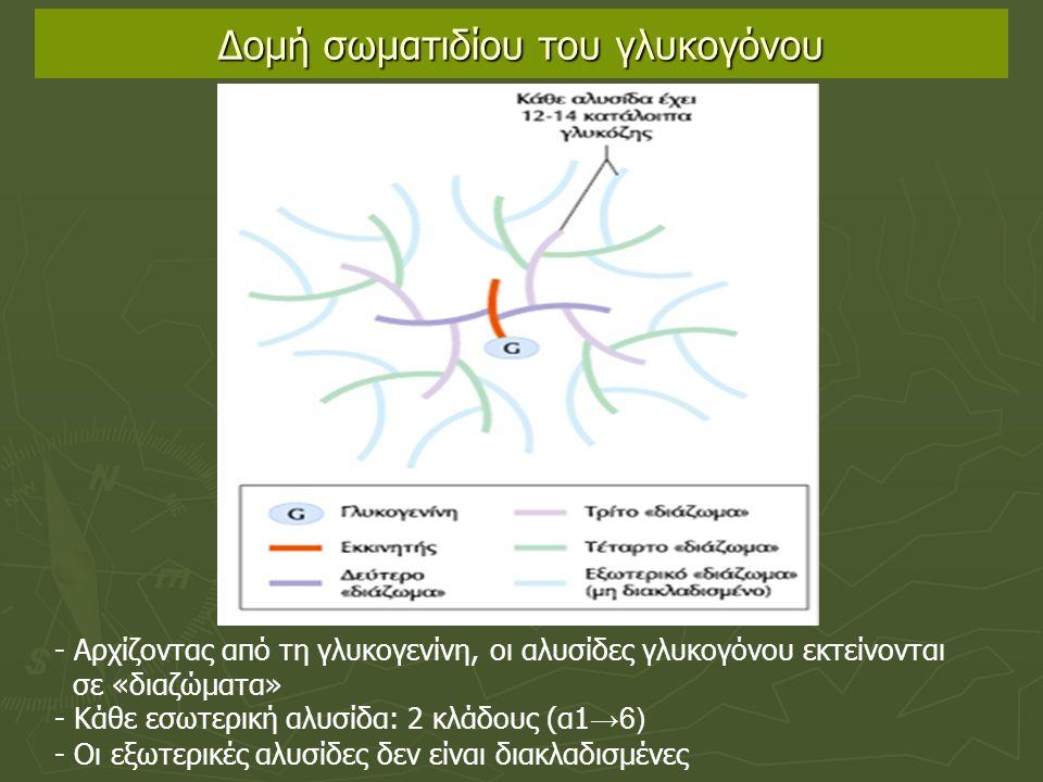 Δομή σωματιδίου του γλυκογόνου - Αρχίζοντας από τη γλυκογενίνη, οι αλυσίδες γλυκογόνου εκτείνονται σε «διαζώματα» - Κάθε εσωτερική αλυσίδα: 2 κλάδους (α1 →6) - Οι εξωτερικές αλυσίδες δεν είναι διακλαδισμένες